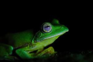 malabar-frog
