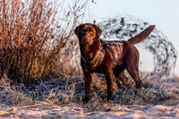 Gilet chien néoprène 900 pro camouflage marais