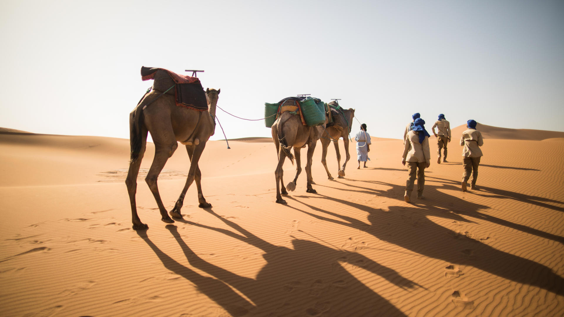 walking in the desert in the morning with camels
