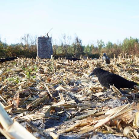 Formes de corneilles dans un champs de maïs