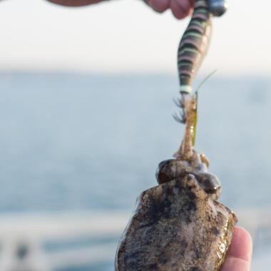 cephalopodes peche