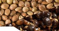 préparer ses graines pour la peche de la carpe