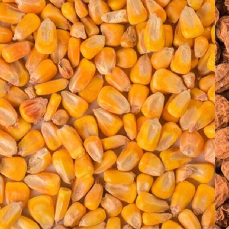 Bien préparer ses graines pour la carpe