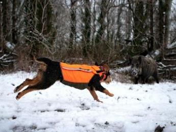 een hond die staat tegenover van een everzwijn