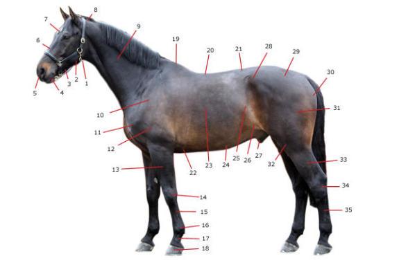 anatomie-du-cheval