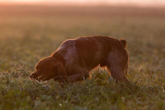 Gérer les premières sorties de chasse de son chien