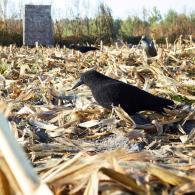 chasser-les-corvides-en-toute-legalite