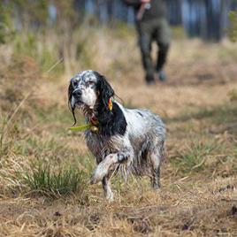 arrêt chien de chasse