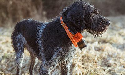 Dog equipment for woodcock hunting