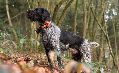 équipement chien de chasse bécasse