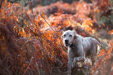 Setter chien de chasse