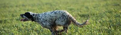 Choosing your hunting dog