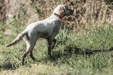 Choosing your hunting dog