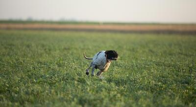 Pointer_chien hunting