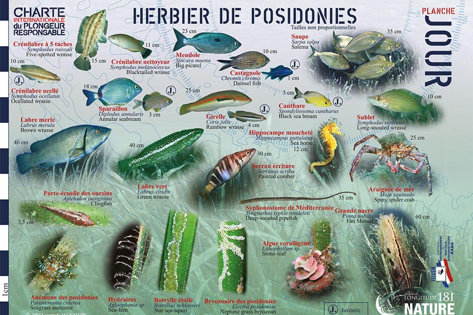 conseil découvrir faune flore méditerranée longitude 181 herbier posidonie jour subea
