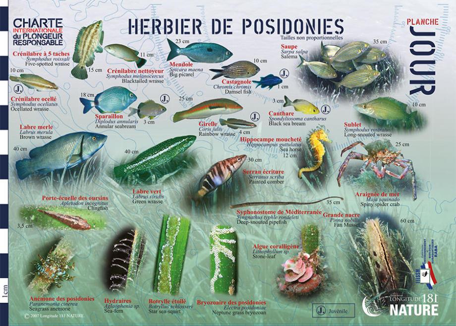 tips discover mediterranean fauna flora longitude 181 posidonia bed day subea