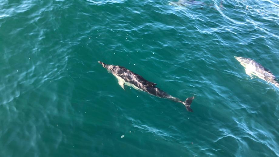 Les cadeaux de la nature : dauphins au large des Sables d'Olonnes