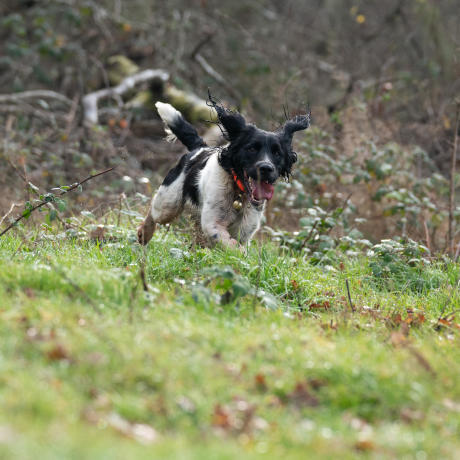 Un chien de chasse qui quête
