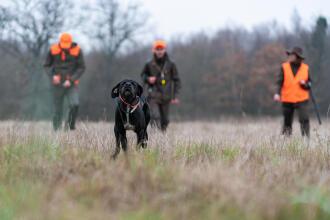 Un chien pointer court dans un champ avec des chasseurs