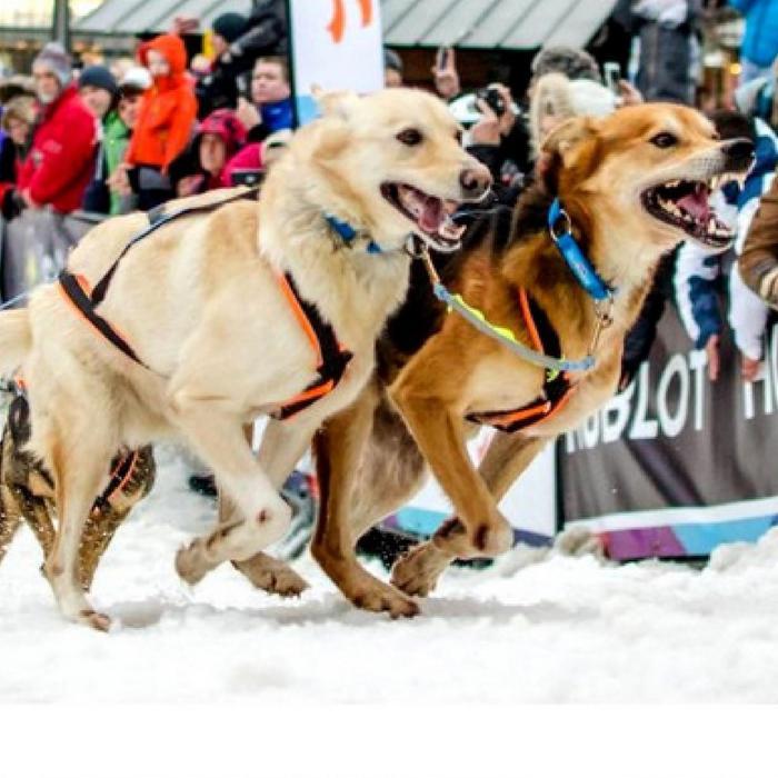 Tuigje Polar Quest voor canicross, cani-hiken of cani-ATB, oranje/zwart