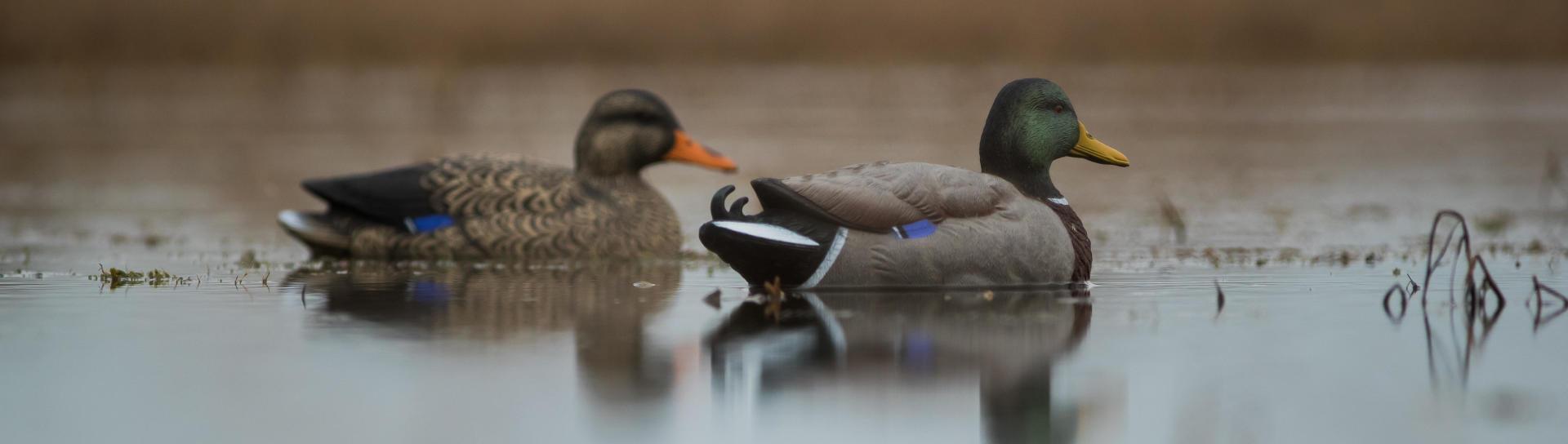 Deux appelants en plastique colvert mâle et femelle sur un plan d'eau