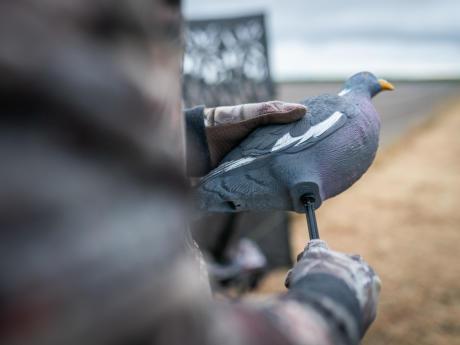 Première blette de pigeon ramier Solognac