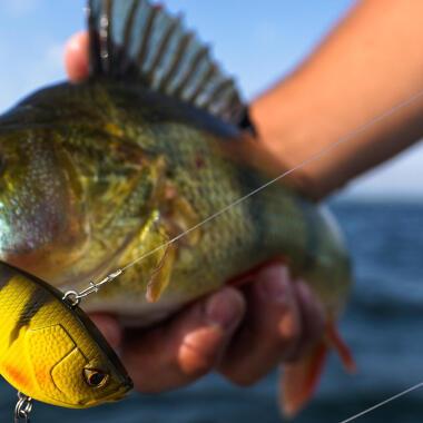 choisir son poisson nageur perche