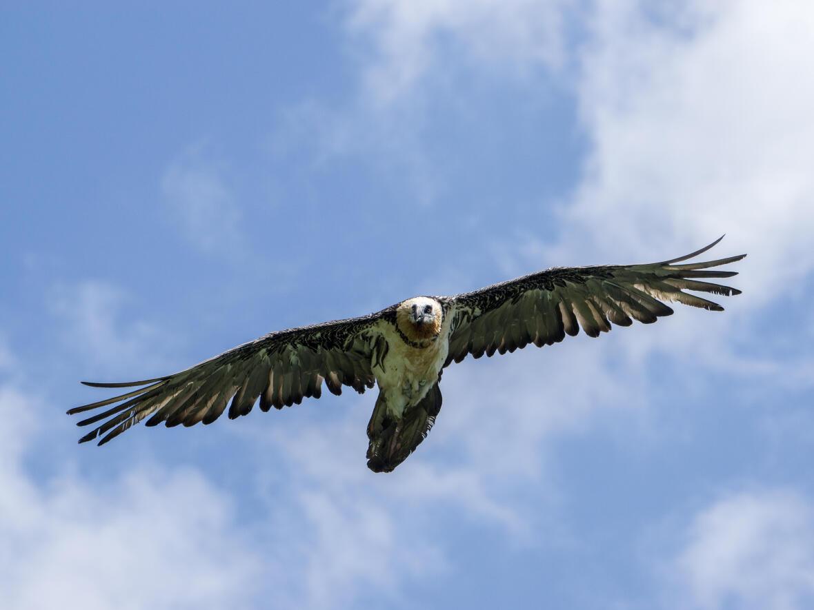 Quelles différences entre un gypaète barbu et un vautour ?