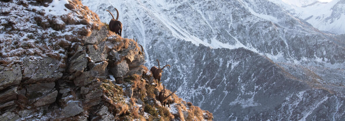WHAT'S THE DIFFERENCE BETWEEN A CHAMOIS AND AN IBEX?