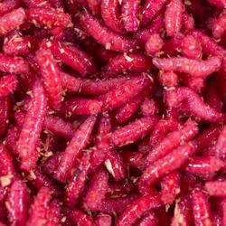 Appâts vivants de pêche, pinkies rouges 1/2 l.
