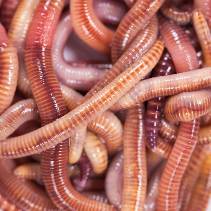 Appâts vivants de pêche, vers dendros gros (15 quantités).