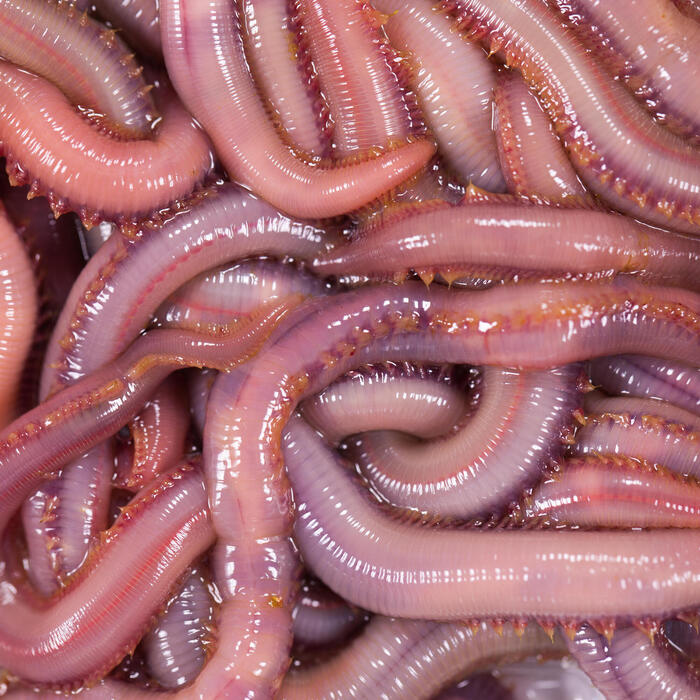 Appâts vivants de pêche en mer - Vers Américain x7