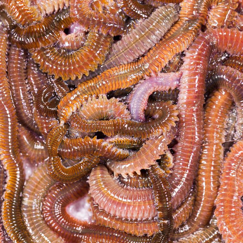 Appâts vivants de pêche en mer - Vers Jumbo Vert (Super Coréen Vert) 40gr