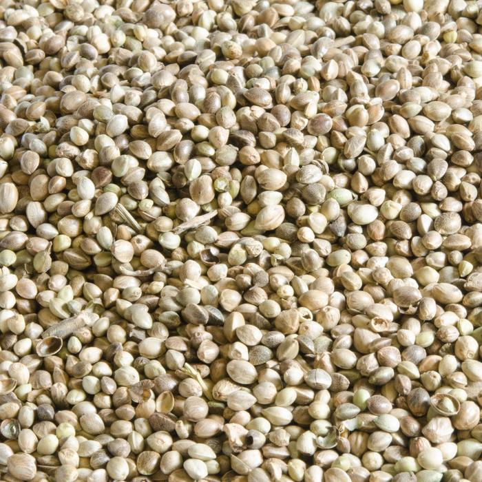 Graines de pêche CHÈNEVIS 5 kg