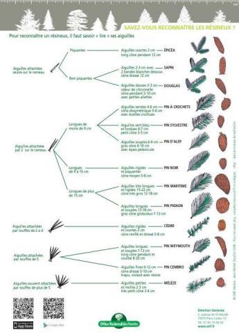 comment-reconnaitre-les-arbres-resineux