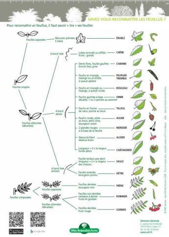 comment-reconnaitre-les-arbres-feuillus