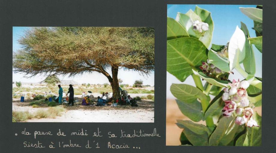 desert sieste acacia