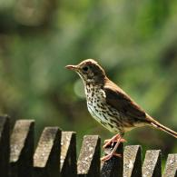 grive-espèces-mauvis-litorne-musicienne-draine-chasse-oiseaux-migrateur