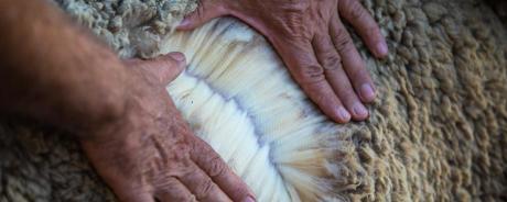 laine-merinos-mouton