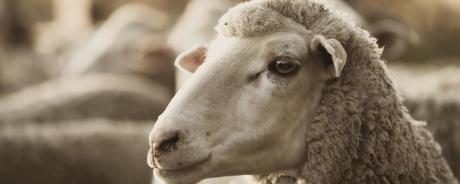 laine-merinos-mouton-regard