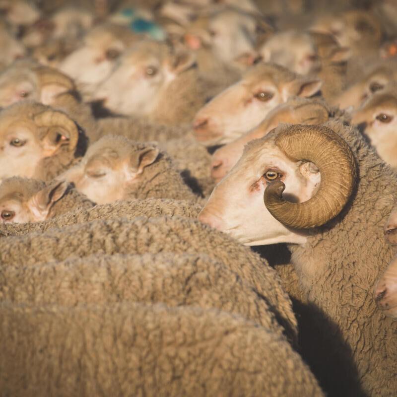 Pourquoi choisir la laine mérinos