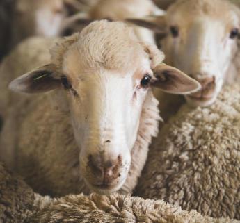 merinos-mouton-visage
