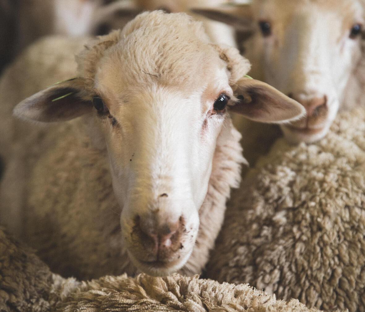 moutons mérinos