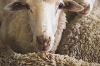 tête de mouton