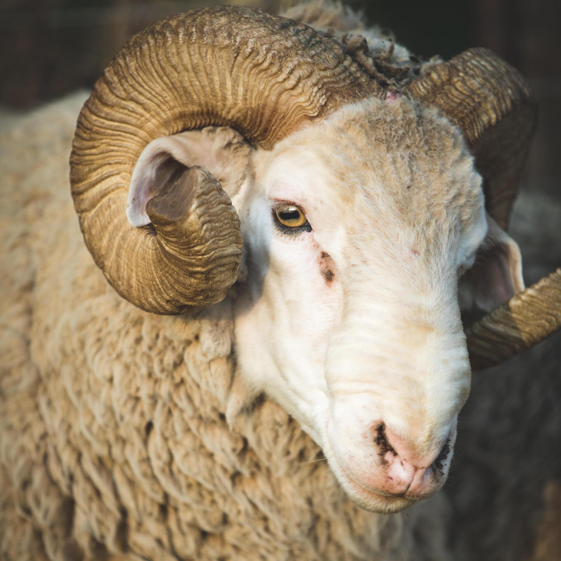 No-mulesing wool