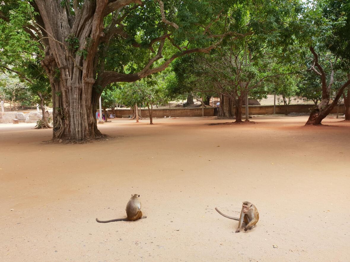 singes cité antique Polonnâruvâ Sri Lanka