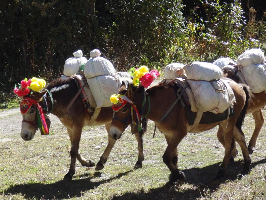Cédric Nepal Langtang ânes <3