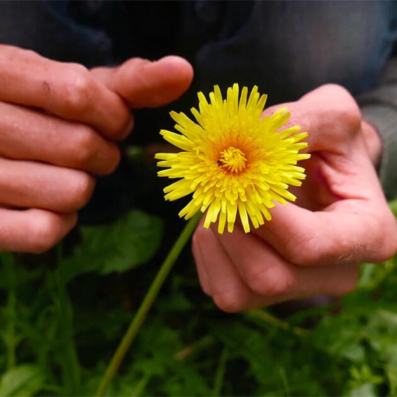 cueillette_plantes_randonnee_nature_quechua_tilleul_recette_detox_cueillir_naturopathie_botanique