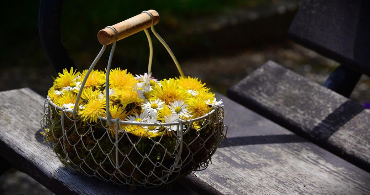 cueillette_plantes_randonnee_nature_quechua_pissenlit_recette_detox_cueillir_naturopathie_botanique