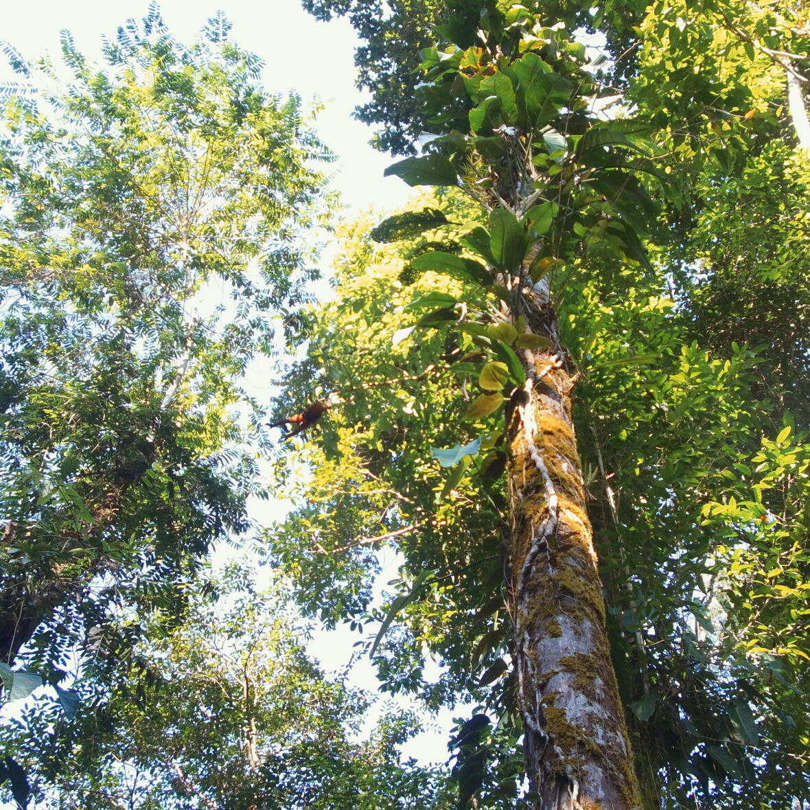 Singes araignées jungle du costa rica